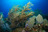Gorgonian soft corals, Grand Cayman Island. Cayman Islands. Image #32038