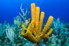 Sponges on Caribbean coral reef, Grand Cayman Island. Cayman Islands. Image #32040