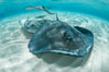 Southern Stingray, Stingray City, Grand Cayman Island. Stingray City, Grand Cayman, Cayman Islands. Image #32070