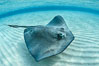 Southern Stingray, Stingray City, Grand Cayman Island. Cayman Islands. Image #32088