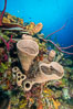 Sponges on Caribbean coral reef, Grand Cayman Island. Cayman Islands. Image #32105