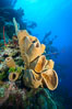 Sponges on Caribbean coral reef, Grand Cayman Island. Cayman Islands. Image #32107