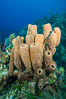 Sponges on Caribbean coral reef, Grand Cayman Island. Cayman Islands. Image #32108