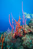 Beautiful Caribbean coral reef, sponges and hard corals, Grand Cayman Island. Cayman Islands. Image #32114