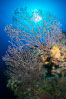 Sea fan gorgonian on coral reef, Grand Cayman Island. Cayman Islands. Image #32121