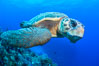 Loggerhead turtle, Caretta caretta, Grand Cayman Island. Cayman Islands. Image #32137
