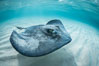 Southern Stingray, Stingray City, Grand Cayman Island. Stingray City, Grand Cayman, Cayman Islands. Image #32161