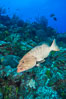 Grouper on coral reef, Grand Cayman Island. Cayman Islands. Image #32172
