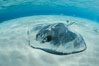 Southern Stingray, Stingray City, Grand Cayman Island. Stingray City, Grand Cayman, Cayman Islands. Image #32222