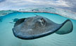 Southern Stingray, Stingray City, Grand Cayman Island. Stingray City, Grand Cayman, Cayman Islands. Image #32231