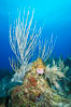 Gorgonian soft corals, Grand Cayman Island. Cayman Islands. Image #32245