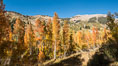 Aspens show fall colors in Mineral King Valley, part of Sequoia National Park in the southern Sierra Nevada, California. USA. Image #32267