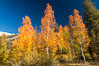 Aspens show fall colors in Mineral King Valley, part of Sequoia National Park in the southern Sierra Nevada, California. USA. Image #32271