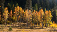 Aspens show fall colors in Mineral King Valley, part of Sequoia National Park in the southern Sierra Nevada, California. USA. Image #32272