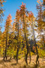 Aspens show fall colors in Mineral King Valley, part of Sequoia National Park in the southern Sierra Nevada, California. USA. Image #32273