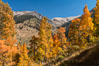 Aspens show fall colors in Mineral King Valley, part of Sequoia National Park in the southern Sierra Nevada, California. USA. Image #32298