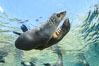 Sea Lions playing in shallow water, Los Islotes, Sea of Cortez. Baja California, Mexico. Image #32495
