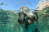 Sea Lions playing in shallow water, Los Islotes, Sea of Cortez. Baja California, Mexico. Image #32506