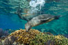 Sea Lion Underwater, Los Islotes, Sea of Cortez. Baja California, Mexico. Image #32522