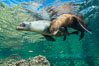 Sea Lions playing in shallow water, Los Islotes, Sea of Cortez. Baja California, Mexico. Image #32553