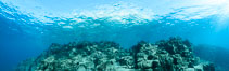 Underwater Panorama of Reef at Los Islotes, Sea of Cortez. Baja California, Mexico. Image #32583
