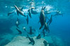 Sea Lions playing in shallow water, Los Islotes, Sea of Cortez. Baja California, Mexico. Image #32597