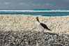 Brown booby, Clipperton island. Clipperton Island, France. Image #33074