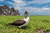 Brown booby, Clipperton island. Clipperton Island, France. Image #33088