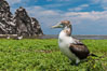Brown booby, Clipperton island. Clipperton Island, France. Image #33091