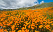California Poppies, Elsinore. USA. Image #33115