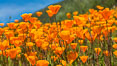 California Poppies, Rancho La Costa, Carlsbad. USA. Image #33120