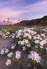 Dune Evening Primrose bloom in Anza Borrego Desert State Park, during the 2017 Superbloom. Anza-Borrego Desert State Park, Borrego Springs, California, USA. Image #33170
