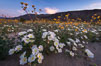 Dune Evening Primrose bloom in Anza Borrego Desert State Park, during the 2017 Superbloom. Anza-Borrego Desert State Park, Borrego Springs, California, USA. Image #33183