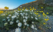 Wildflowers bloom in Anza Borrego Desert State Park, during the 2017 Superbloom. Anza-Borrego Desert State Park, Borrego Springs, California, USA. Image #33189