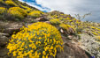 Brittlebush bloom in Anza Borrego Desert State Park, during the 2017 Superbloom. Anza-Borrego Desert State Park, Borrego Springs, California, USA. Image #33192