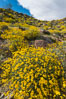 Brittlebush bloom in Anza Borrego Desert State Park, during the 2017 Superbloom. Anza-Borrego Desert State Park, Borrego Springs, California, USA. Image #33194