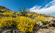 Brittlebush bloom in Anza Borrego Desert State Park, during the 2017 Superbloom. Anza-Borrego Desert State Park, Borrego Springs, California, USA. Image #33195