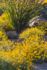 Brittlebush bloom in Anza Borrego Desert State Park, during the 2017 Superbloom. Anza-Borrego Desert State Park, Borrego Springs, California, USA. Image #33197