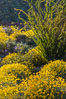 Brittlebush bloom in Anza Borrego Desert State Park, during the 2017 Superbloom. Anza-Borrego Desert State Park, Borrego Springs, California, USA. Image #33198