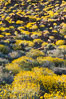 Brittlebush bloom in Anza Borrego Desert State Park, during the 2017 Superbloom. Anza-Borrego Desert State Park, Borrego Springs, California, USA. Image #33200