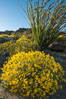 Brittlebush bloom in Anza Borrego Desert State Park, during the 2017 Superbloom. Anza-Borrego Desert State Park, Borrego Springs, California, USA. Image #33201