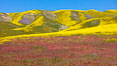 Wildflowers bloom across Carrizo Plains National Monument, during the 2017 Superbloom. Carrizo Plain National Monument, California, USA. Image #33237