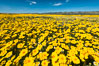 Wildflowers bloom across Carrizo Plains National Monument, during the 2017 Superbloom. Carrizo Plain National Monument, California, USA. Image #33240