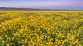 Wildflowers bloom across Carrizo Plains National Monument, during the 2017 Superbloom. Carrizo Plain National Monument, California, USA. Image #33247