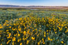 Wildflowers bloom across Carrizo Plains National Monument, during the 2017 Superbloom. Carrizo Plain National Monument, California, USA. Image #33253