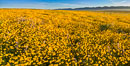A Panorama of Wildflowers blooms across Carrizo Plains National Monument, during the 2017 Superbloom. Carrizo Plain National Monument, California, USA. Image #33254