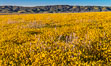 Wildflowers bloom across Carrizo Plains National Monument, during the 2017 Superbloom. Carrizo Plain National Monument, California, USA. Image #33255