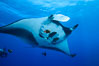 Giant Manta Ray at Socorro Island, Revillagigedos, Mexico. Socorro Island (Islas Revillagigedos), Baja California. Image #33279