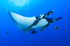 Giant Manta Ray at San Benedicto Island, Revillagigedos, Mexico. San Benedicto Island (Islas Revillagigedos), Baja California, Mexico. Image #33281