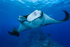 Giant Manta Ray at Socorro Island, Revillagigedos, Mexico. Socorro Island (Islas Revillagigedos), Baja California. Image #33288